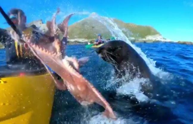 VIDEO. Nouvelle-Zélande: Une otarie gifle un kayakiste avec un poulpe
