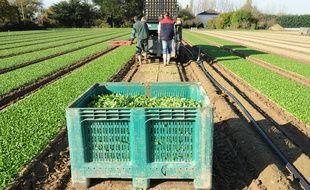le 15/11/2010  Recolte de la salade mache sur une exploitation de la region nantaise