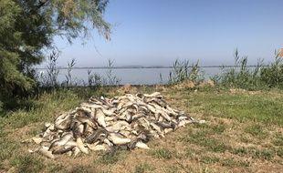 Un tas de cadavres de poissons sur le bord de l'étang du Bolmon.