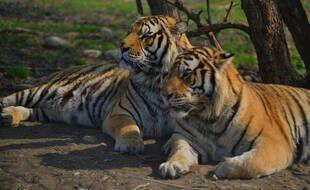 Deux tigres en Chine (illustration).