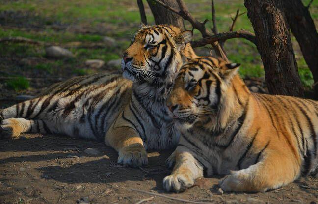 648x415 deux tigres en chine illustration