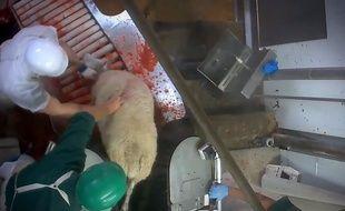 L'association a diffusé des images qui montrent que les moutons sont abattus sans étourdissement préalable.