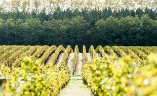Vignes de la parcelle de château Guiraud, dans les Sauternes