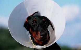 Doberman avec collerette vétérinaire.