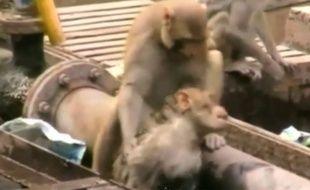 L' incroyable sauvetage d'un singe héroïque en Inde.