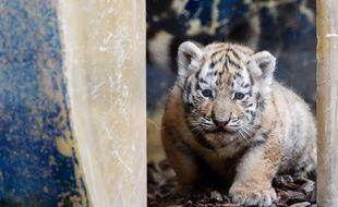 Besançon: naissance rare de trois petits tigres de Sibérie