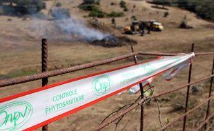 Les plantes dans un rayon de 100m autour de l'arbuste infesté par Xylella fastidiosa ont été détruites, le 27 juillet 2015 à Propriano, en Corse du Sud.