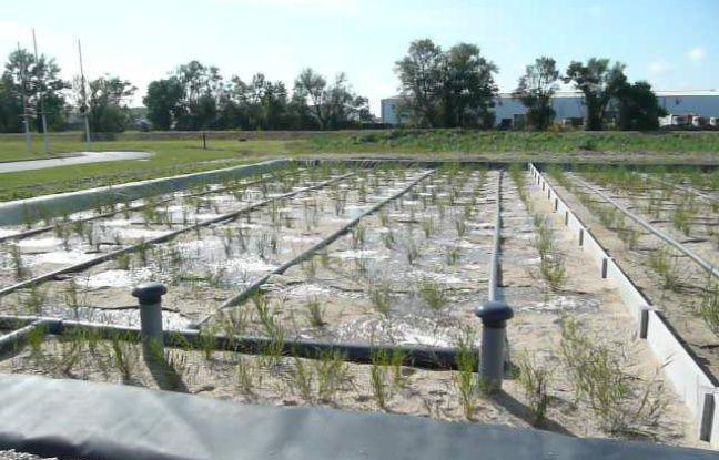 Les racines des roseaux ont des pouvoirs dépolluants.
