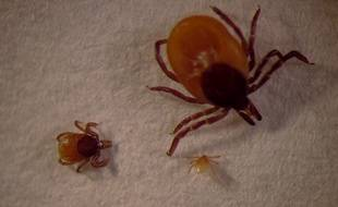 De la plus petite à plus grande, des tiques à l'état de larve, nymphe, et adulte. C'est au second stade qu'elles peuvent porter et transmettre la maladie.