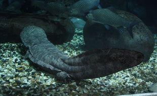 La salamandre géante de Chine court vers son extinction.