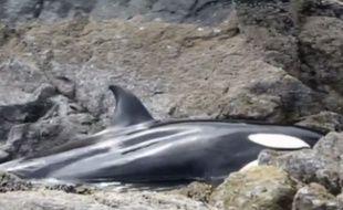 Une orque a été prise au piège par la marée