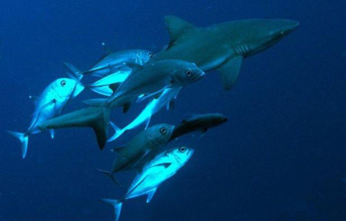Les populations de requins de récif ont fortement diminué dans le Pacifique surtout près des zones à fortes densité humaine où la baisse dépasse 90% – Todd Essick afp.com