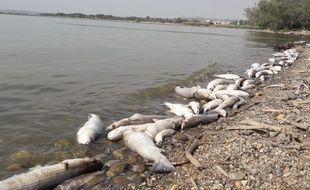 Des milliers de poissons, des muges, des carpes et des anguilles, ont été retrouvés morts sur l'étang du Bolmon.