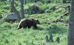 Illustration d'un ours des Pyrénées.