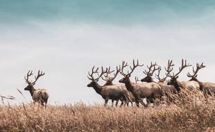 Depuis cet été, 200 rennes sauvages de Yakoutie sont équipés d'un collier Argos doté d'intelligence artificielle.