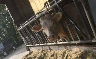 Feu vert pour le projet de ferme de 1.200 taurillons à Wintershouse en Alsace