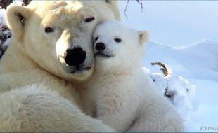 Qui veut un câlin avec un ours polaire?