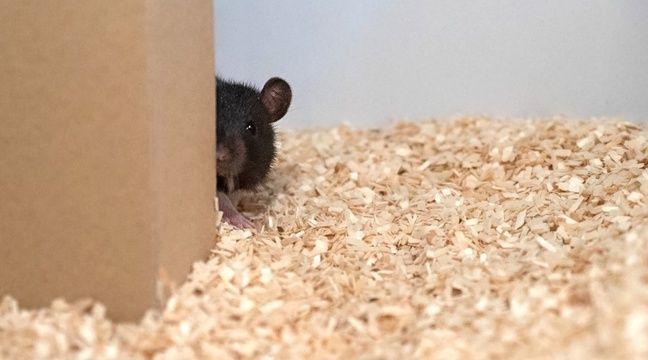 Des scientifiques apprennent à des rats à jouer à cache-cache