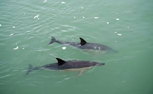Le deux dauphins aperçus au Croisic, lundi