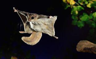Un écureuil volant (illustration)