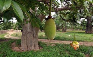 Un fruit du baobab.
