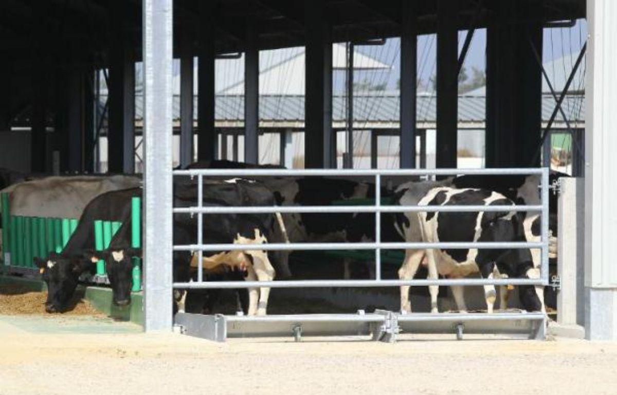"""Les vaches arrivées à Drucat, dans """"la ferme des 1.000 vaches"""", le 13 septembre 2014 –  AFP"""