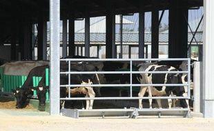 """Les vaches arrivées à Drucat, dans """"la ferme des 1.000 vaches"""", le 13 septembre 2014"""